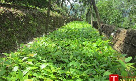 जिल्ला वनस्पति कार्यालय सल्यानमा १० लाख विरुवाको माग तर उत्पादन ३ लाख मात्रै