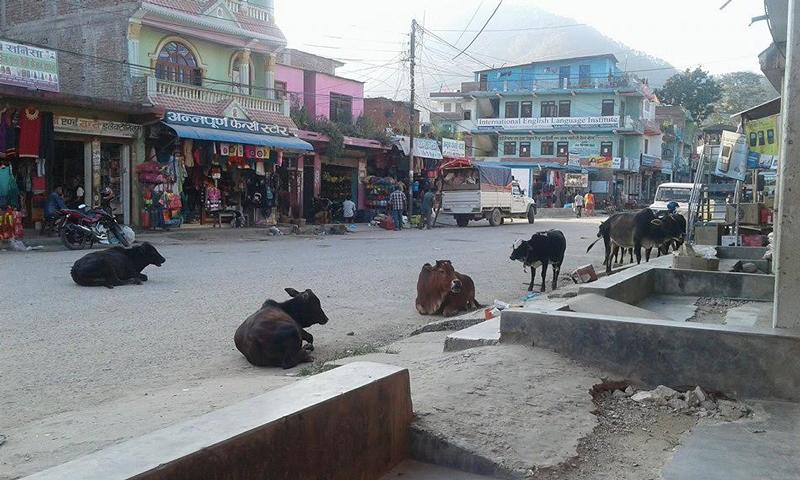 सुन्दैन नगरपालिका – छाडा पशुचौपायाले कुरुप बन्दै श्रीनगर