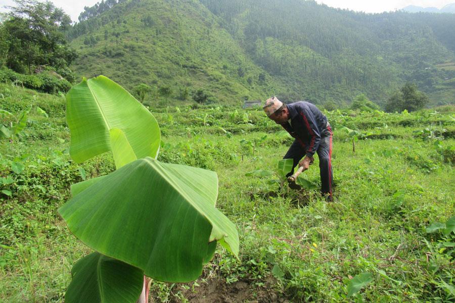 धान लगाउने खेतमा व्यवसायिक केराखेती