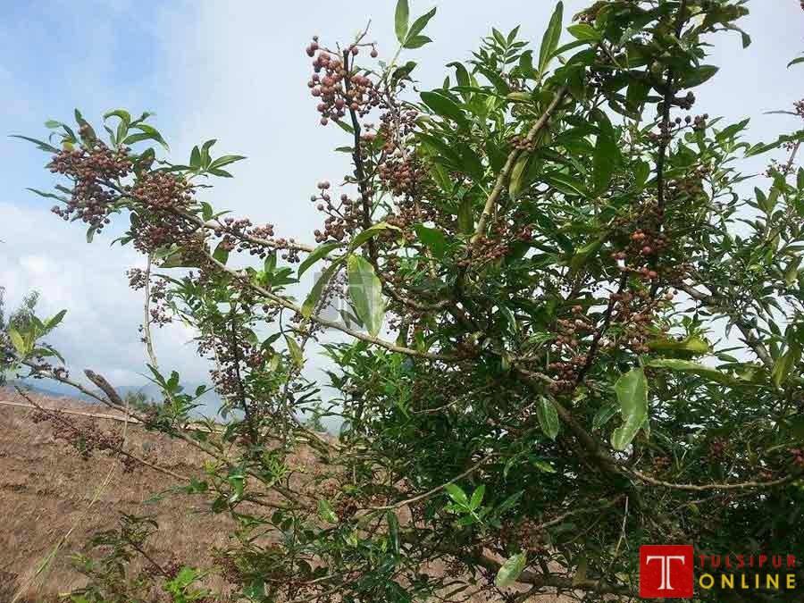 सल्यानमा उत्पादित टिमुर ४० जिल्लामा निर्यात