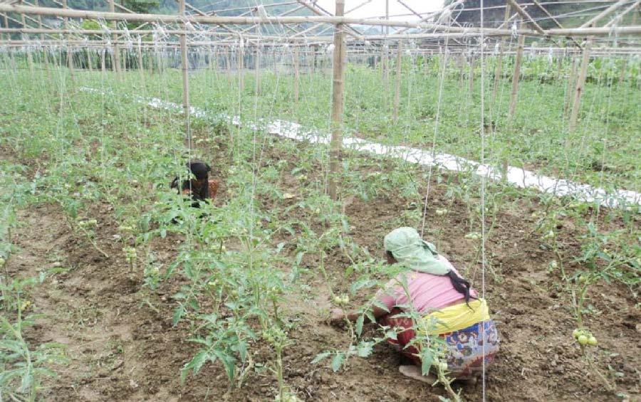 शान्तिनगरमा असिनाले अन्नबालीमा क्षति, किसान चिन्तित