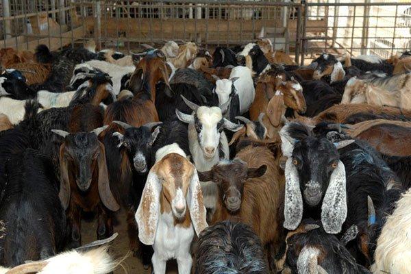 खाद्य कम्पनीले दशैँमा ३ हजार खसी, बोका र च्याङ्ग्रा खरिद गर्दै