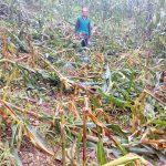 जंगली जनावरले खेती सखाप, स्थानीय सरकारसंग क्षतिपूर्ति माग
