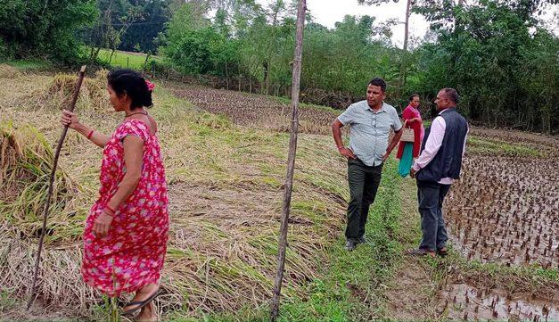 धानबाली पिडित किसानको पहिचान गरी लगत संकलन गर्छौ : वडा अध्यक्ष डाँगी